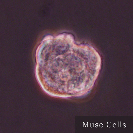 Muse Cells IMAGE